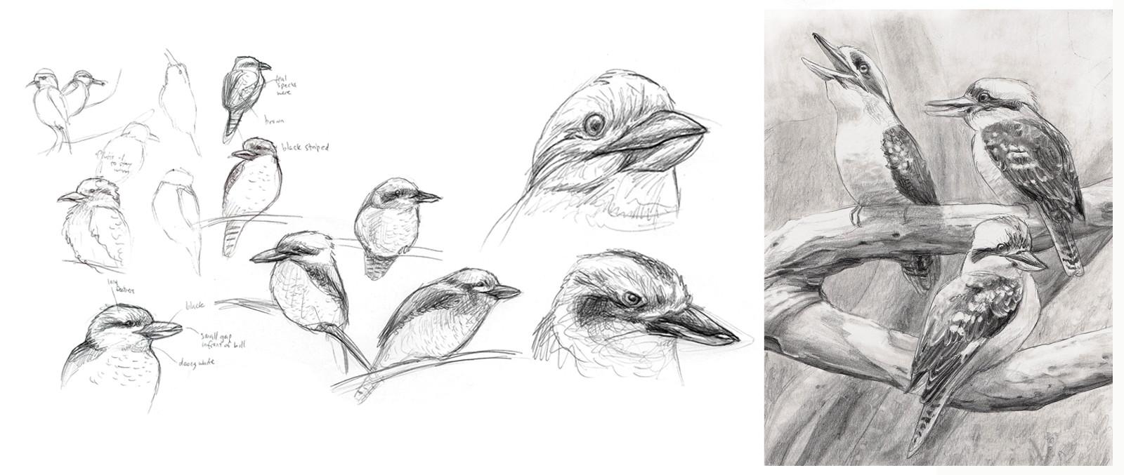Alina godfrey kookaburra sketches