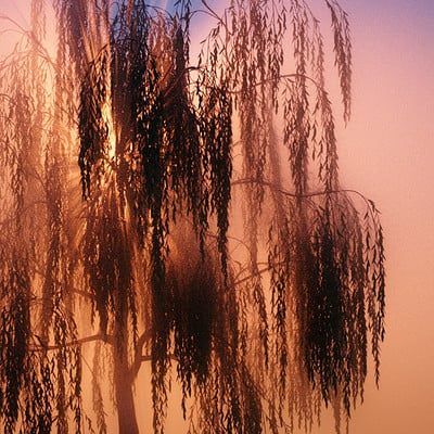 O Willows