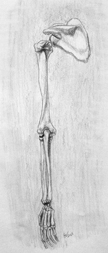 Arm Bone System Study