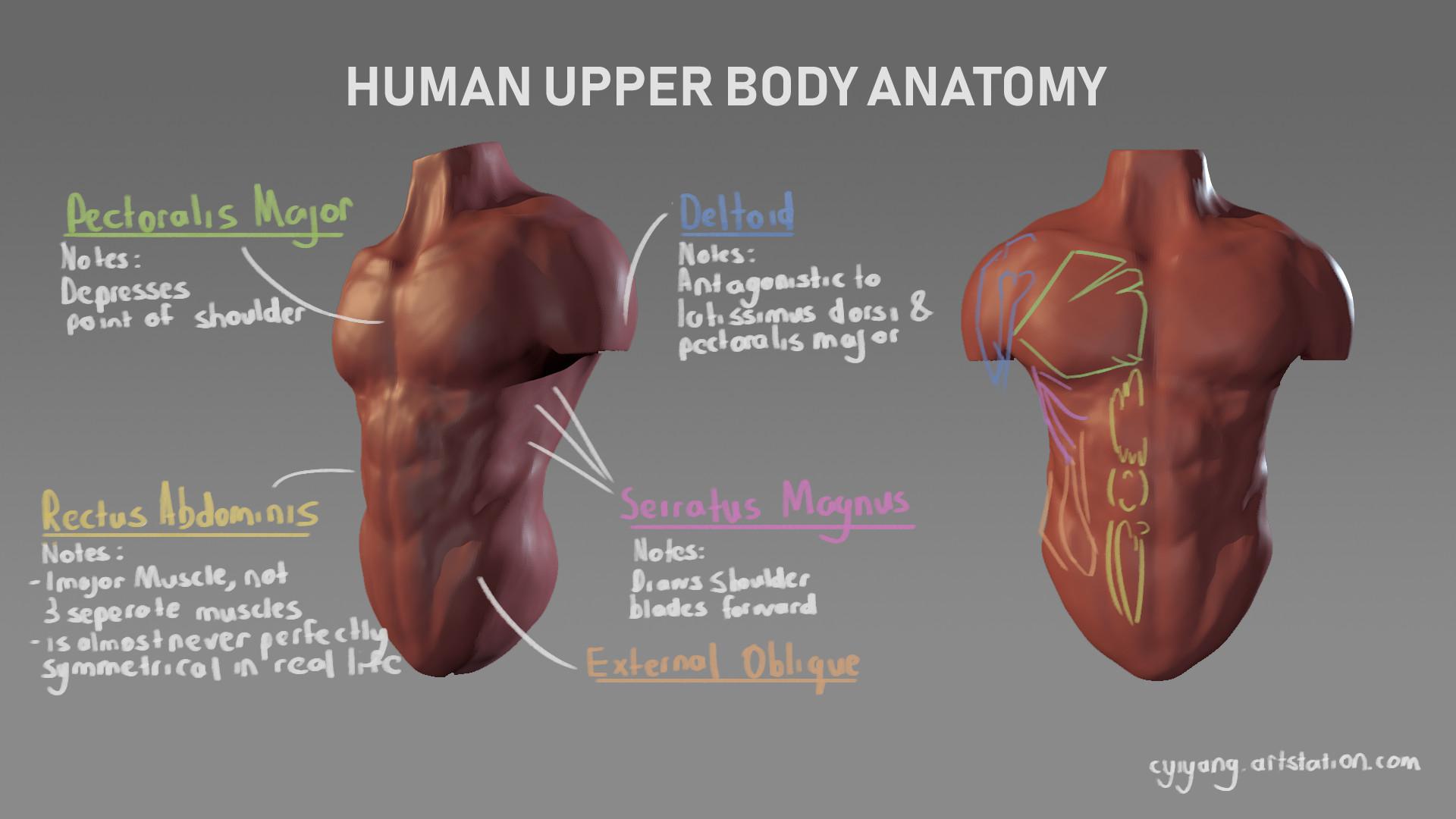 Artstation Upper Body Anatomy Study Yi Yang Choo