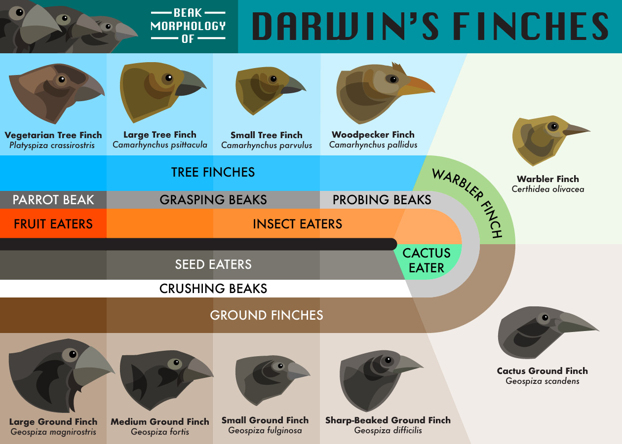 Beak Morphology of Darwin's Finches