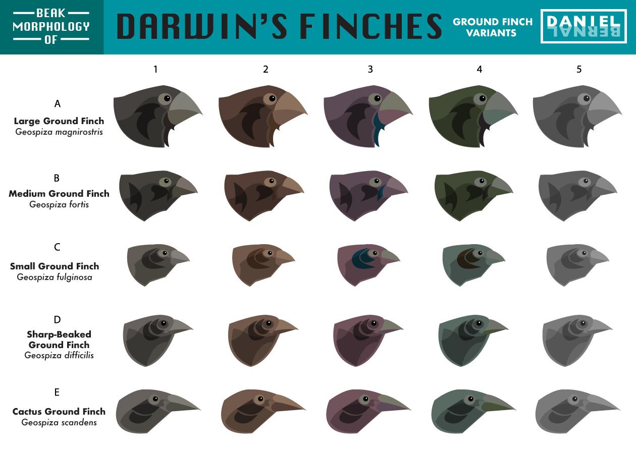Daniel bernal 07a bird morph darwin finch bernalstudiovariant 2 01