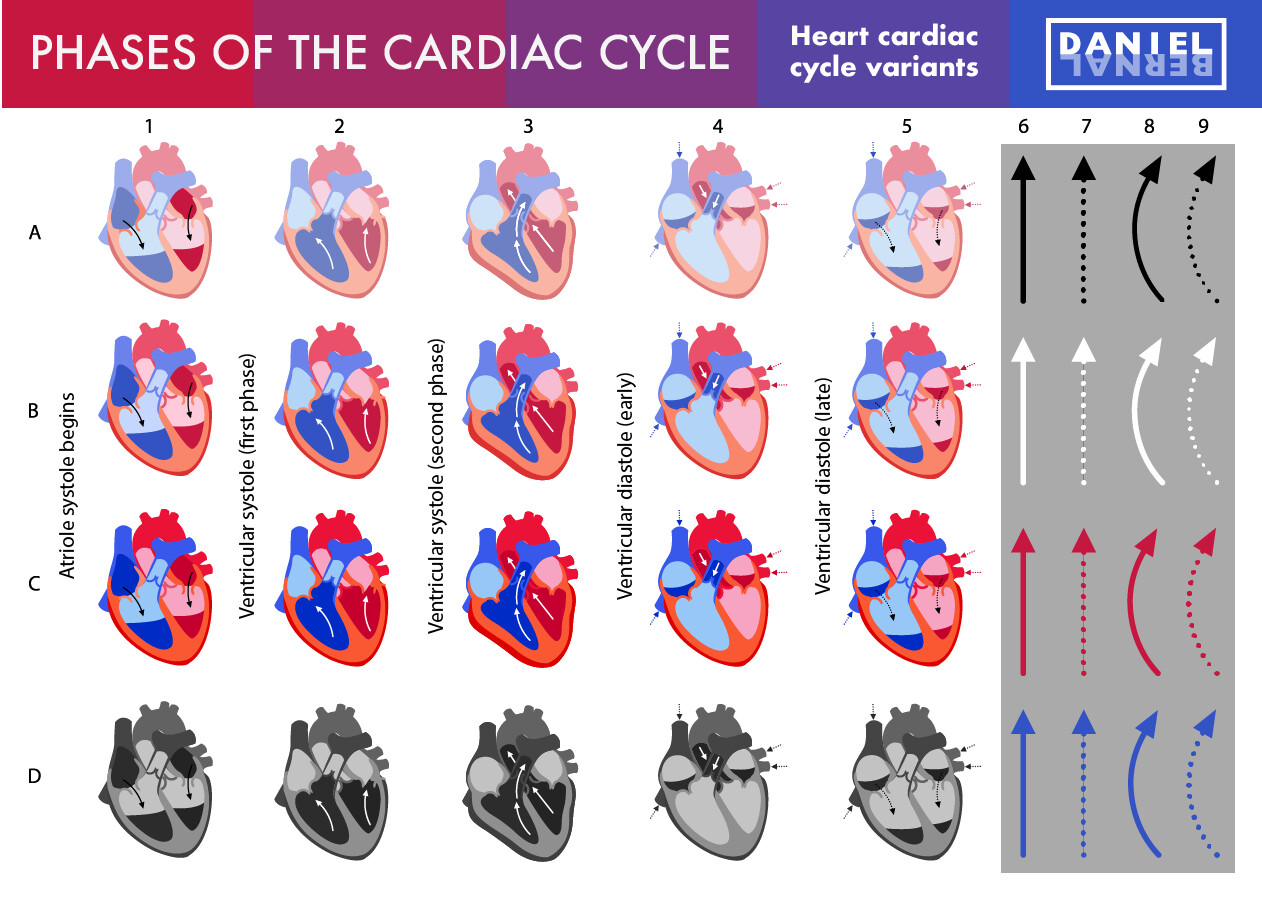 Daniel bernal 06a cardiac cycle bernalstudio variants