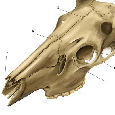 Heather rankin deer cranium