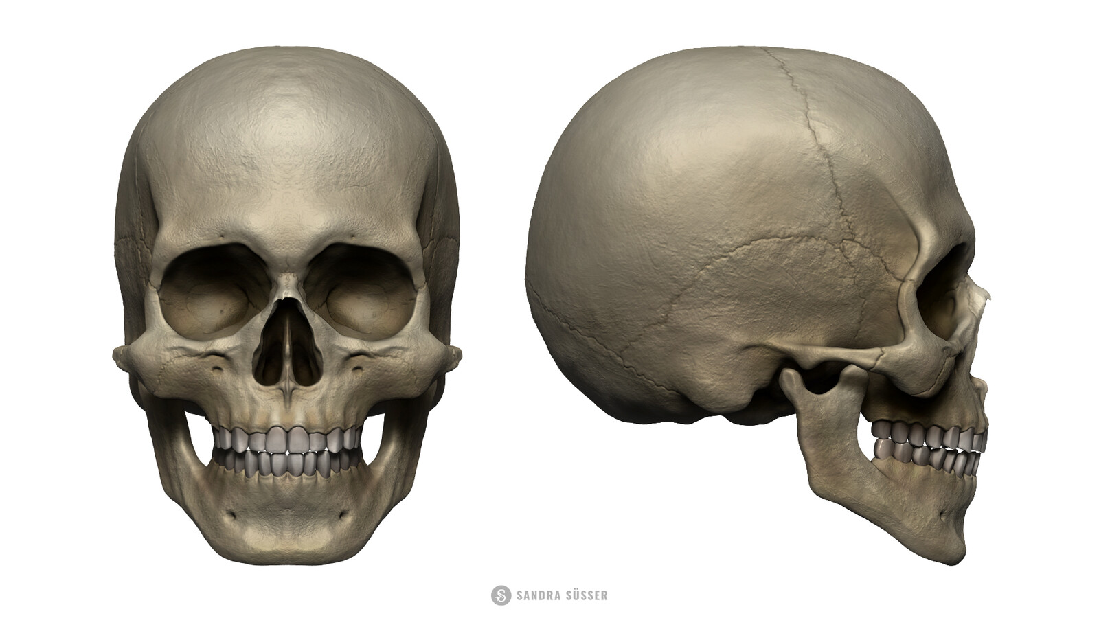 Skull Layer - Front & Profile