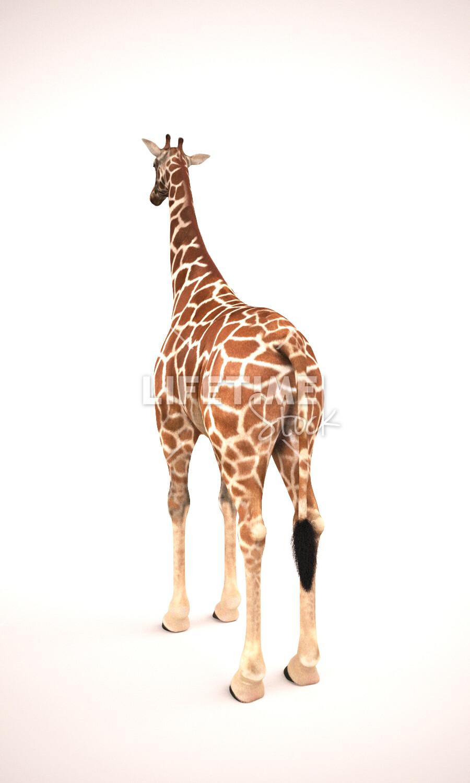 Marco baccioli marco baccioli giraffe 2front