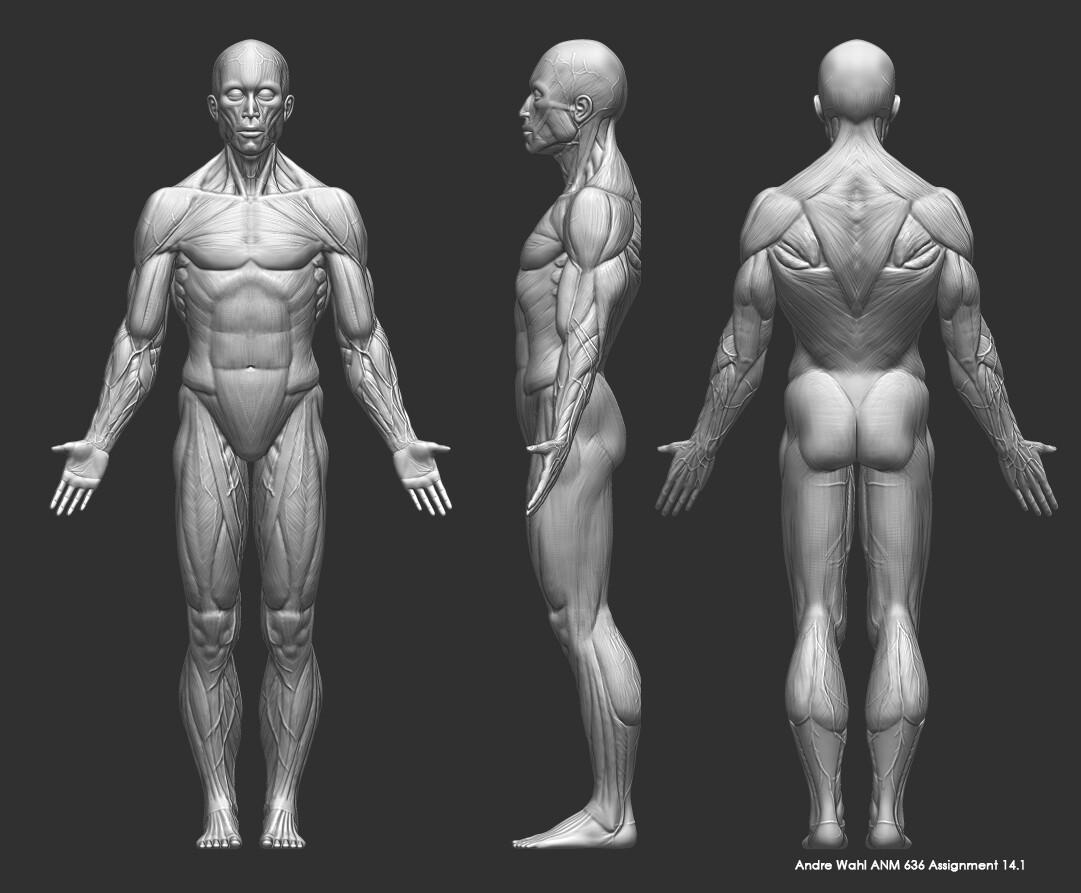 Muscle, Veins, & Fat