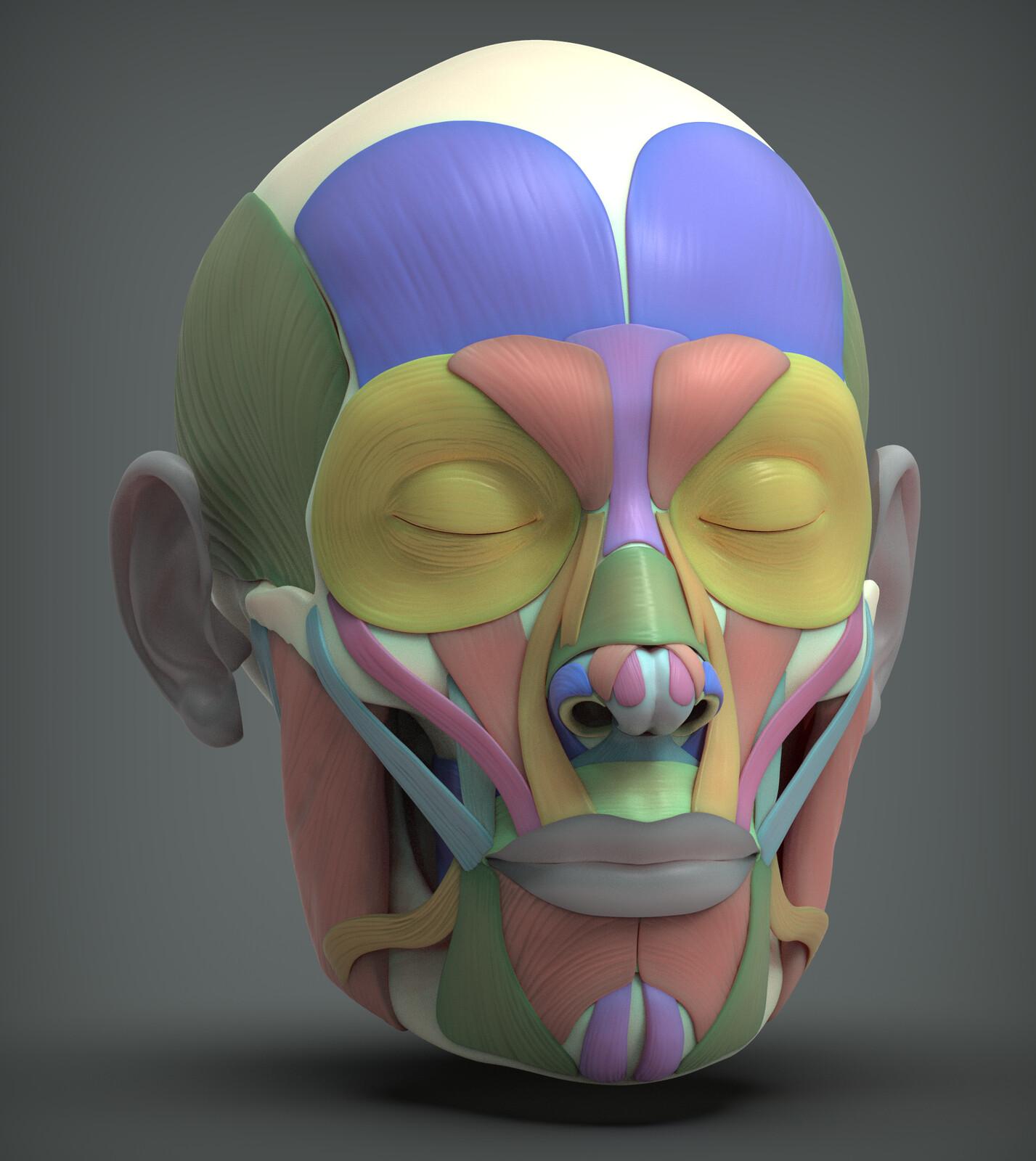 Human Face Anatomy Study