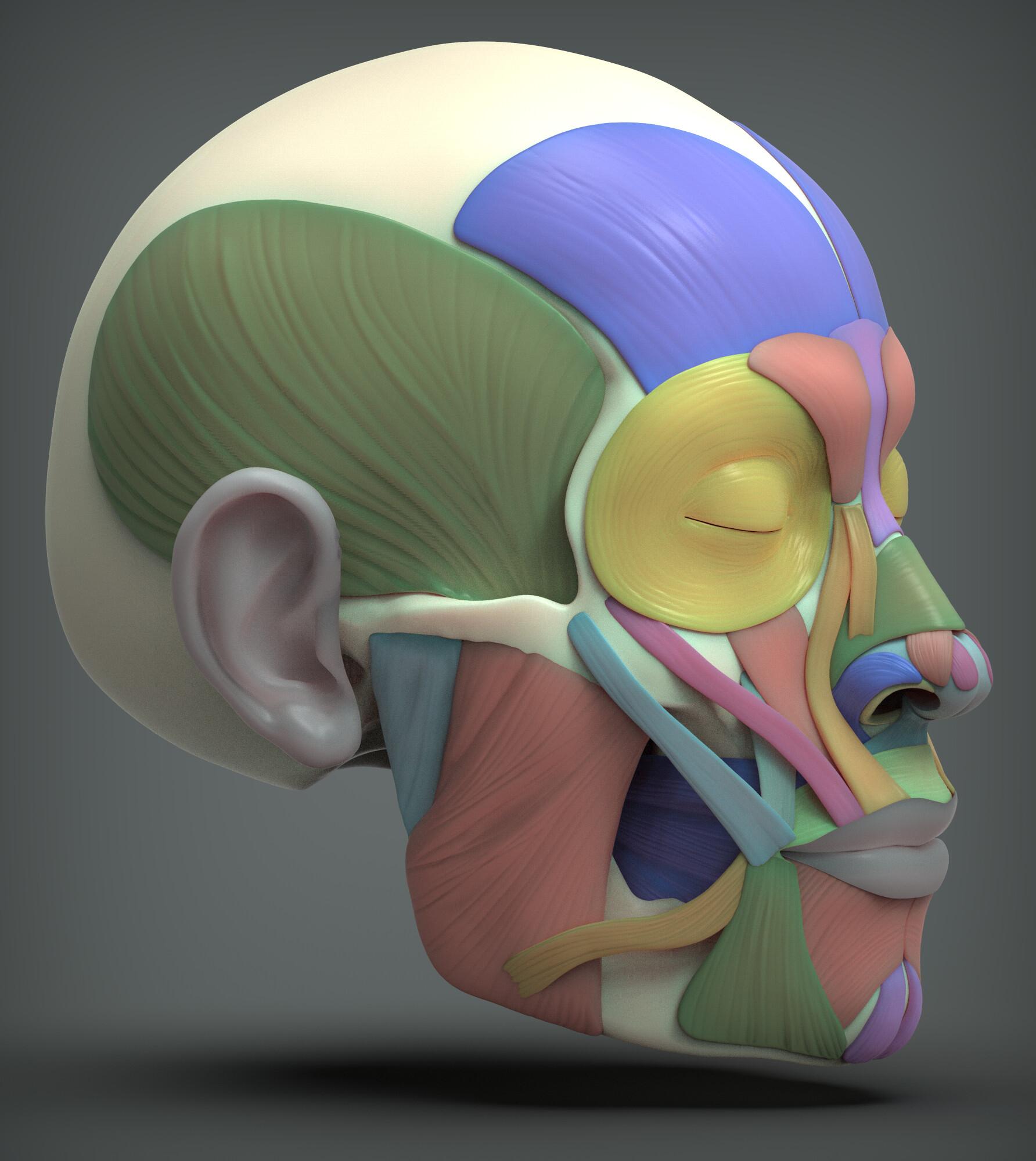 John deriggi face human anatomy 03