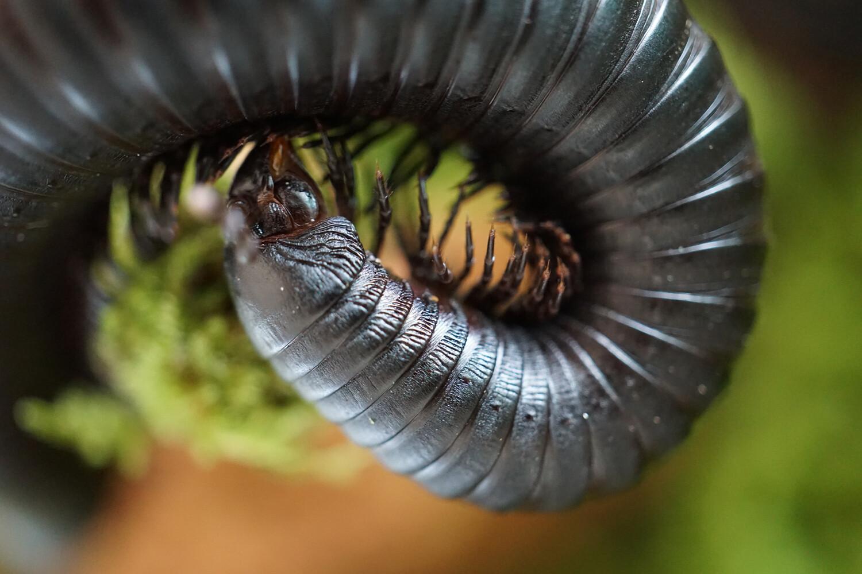 Spiropoeus fischeri