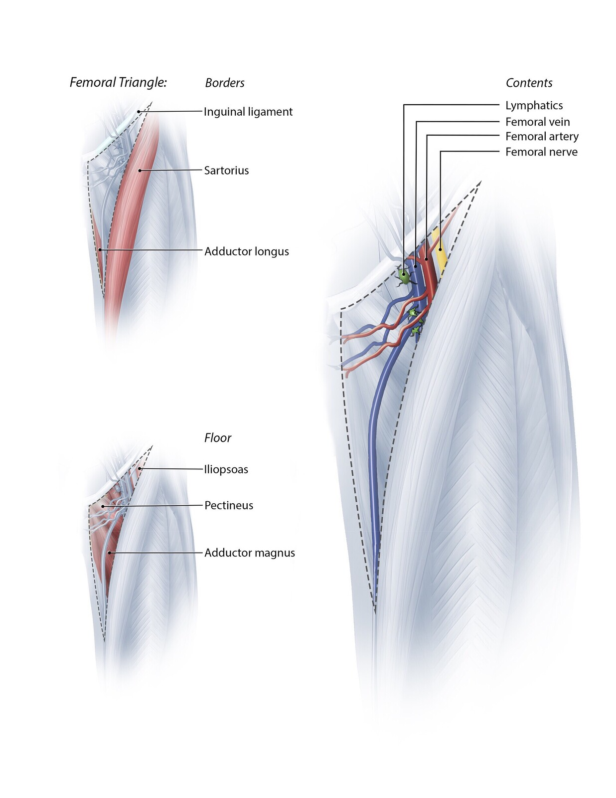Anatomy of the Femoral Triangle