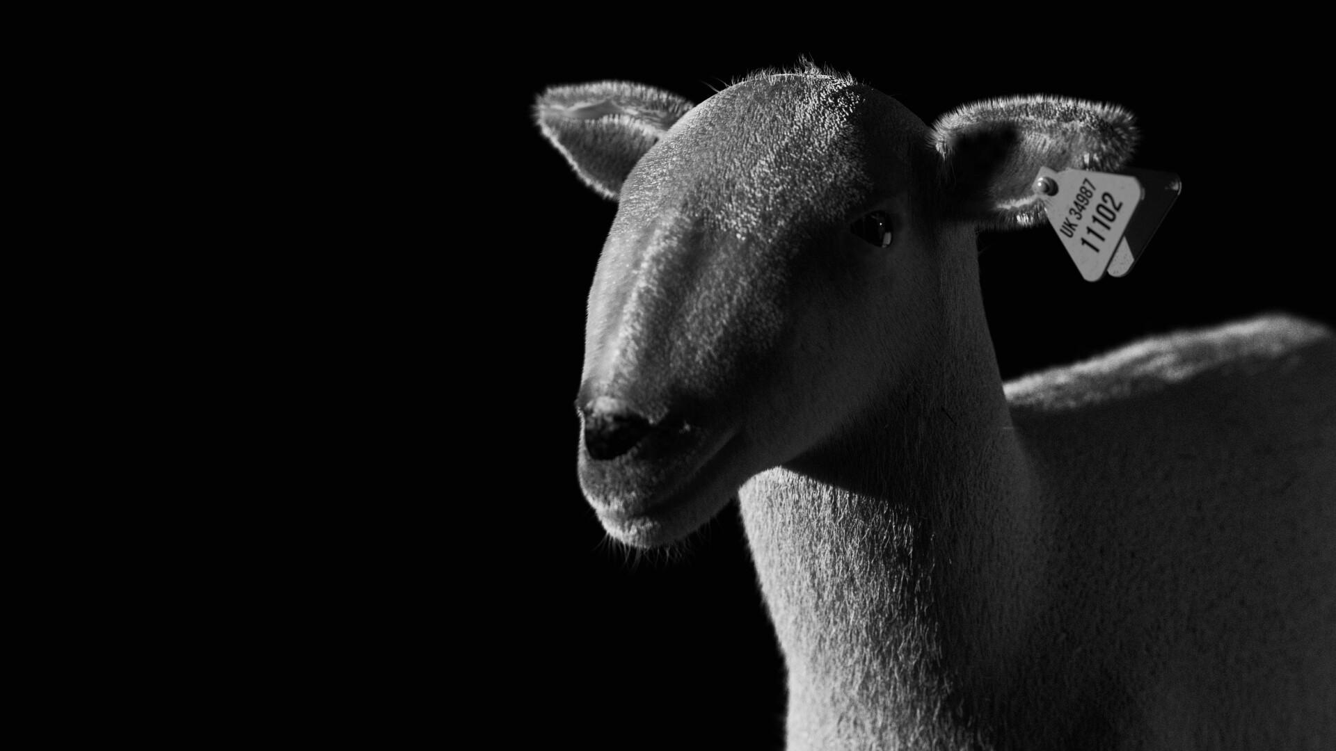 Michelangelo girardi sheep ig3