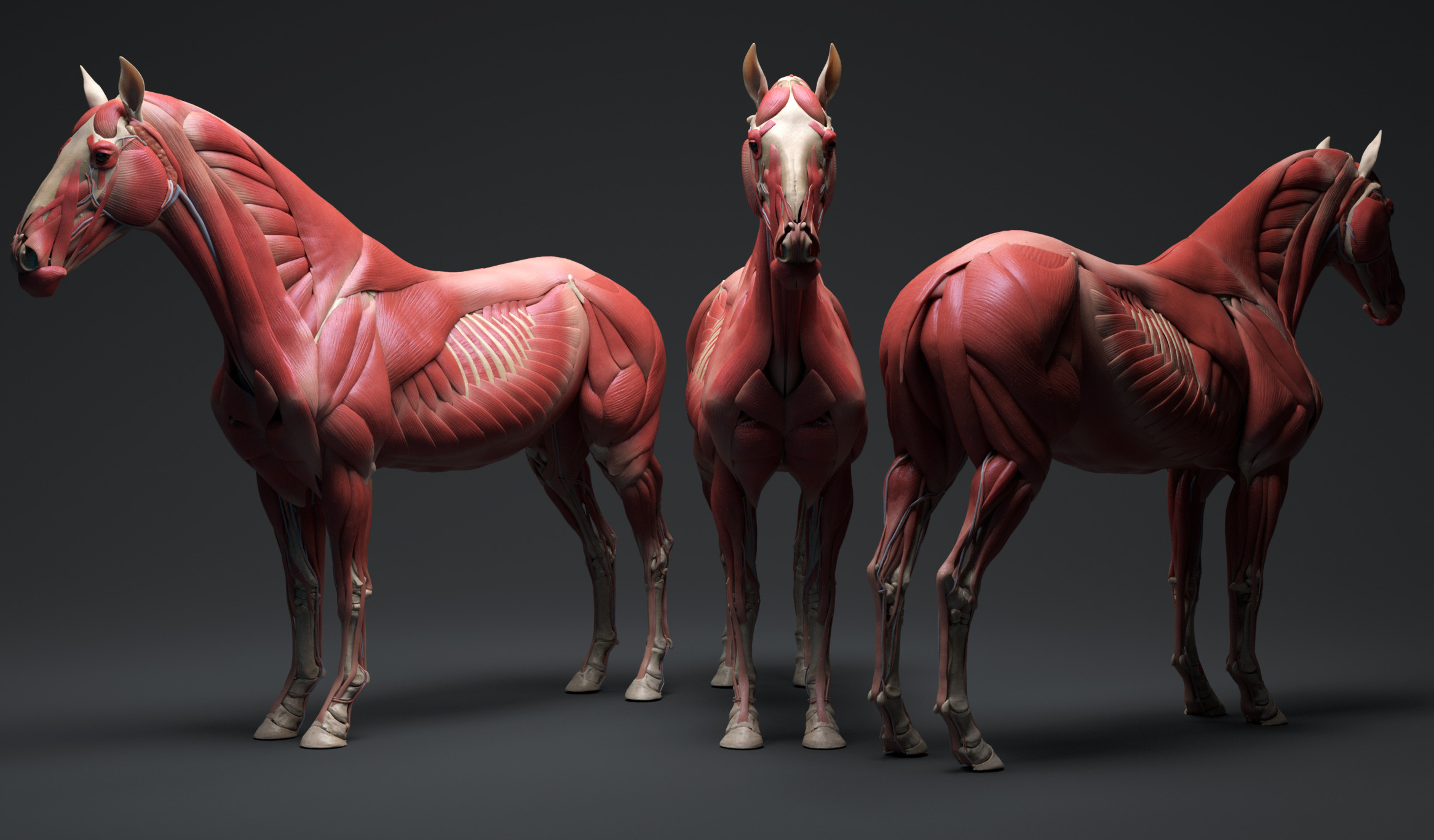 Horse ecorche, now available on 3dscan store. Follow the link: https://www.3dscanstore.com/ecorche-3d-models/horse-ecorche-3d-model