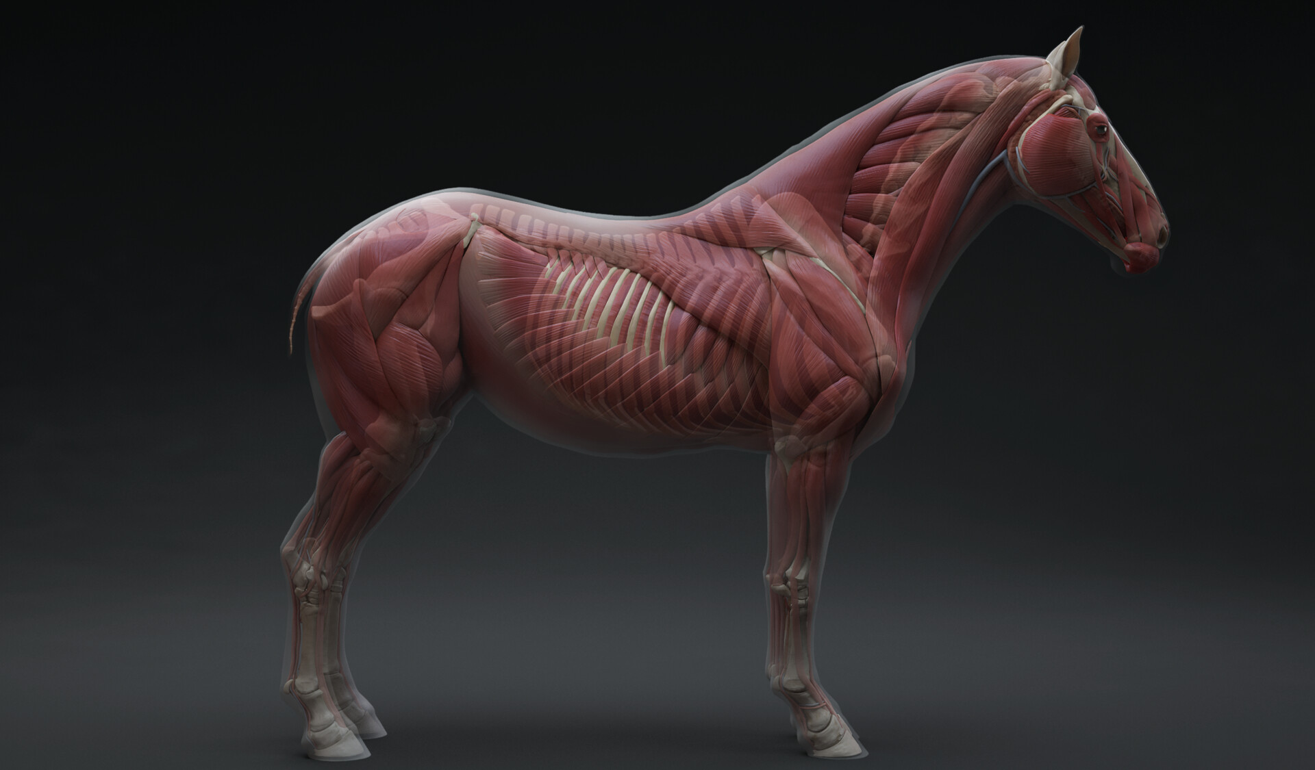This model is available at -33% at launch! Grab it while you can :)  https://www.3dscanstore.com/ecorche-3d-models/horse-ecorche-3d-model