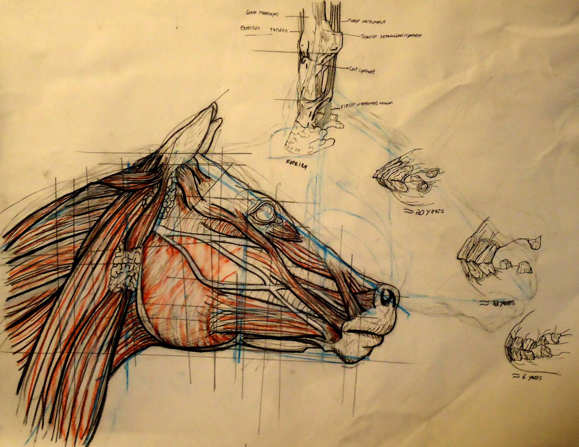 Catlin Cowell Pieretti Horse Head Anatomy