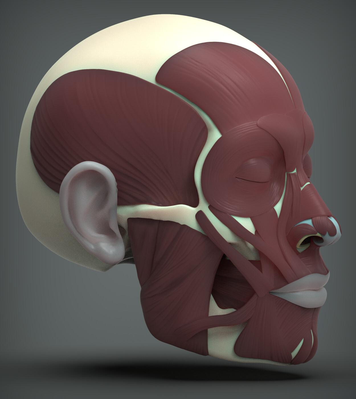 John deriggi face human anatomy 03a