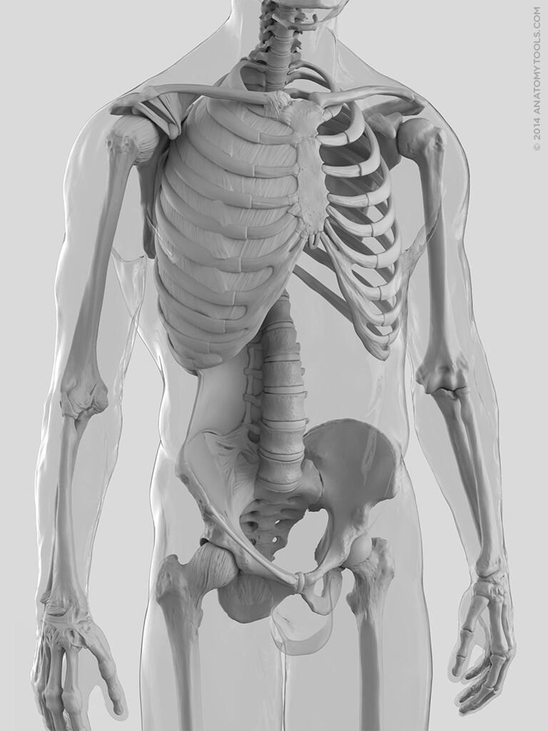 Matt corcoran anatomytools skeleton torso closeup 2