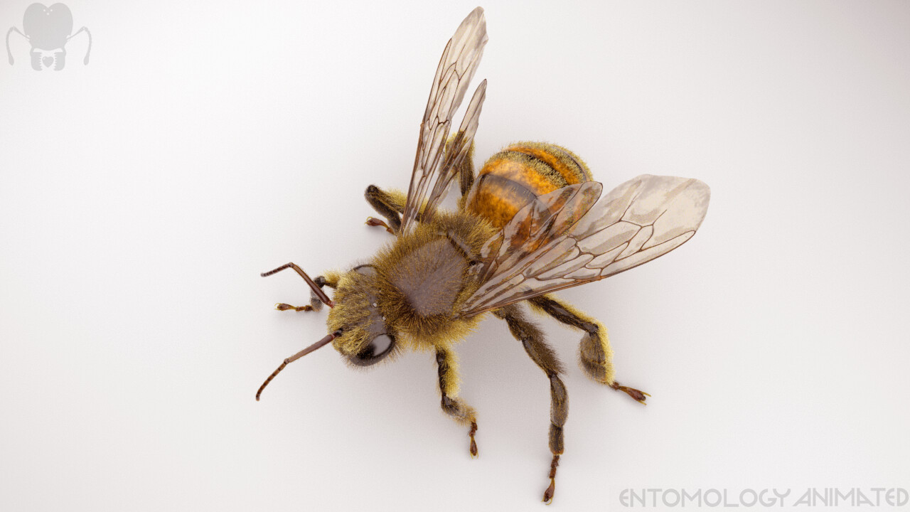 Honey Bee (Apis mellifera). ZBrush model rendered in Arnold for Maya