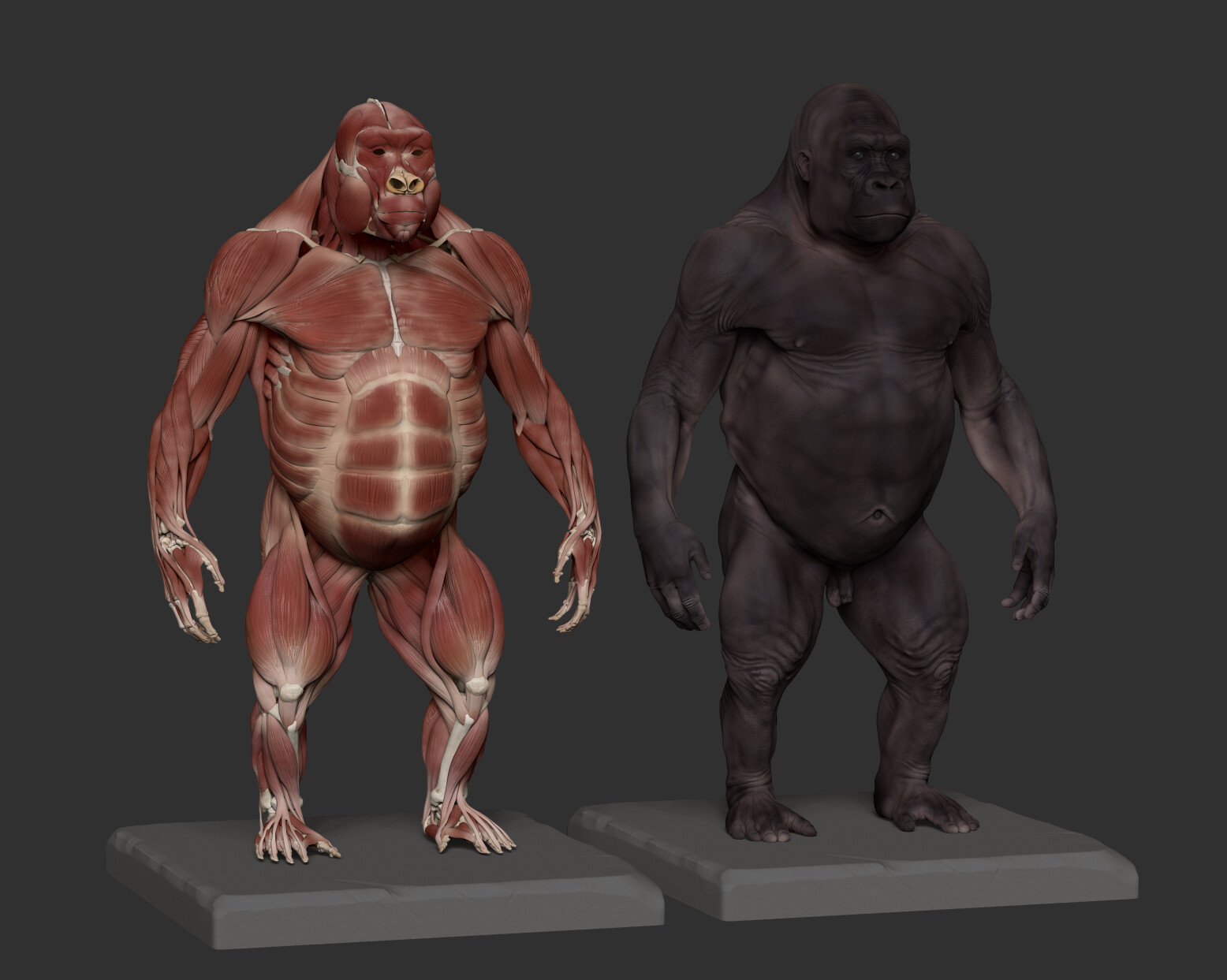 I did a quick pass of polypaint to highlight muscles' body vs tendons and aponeurosis.
