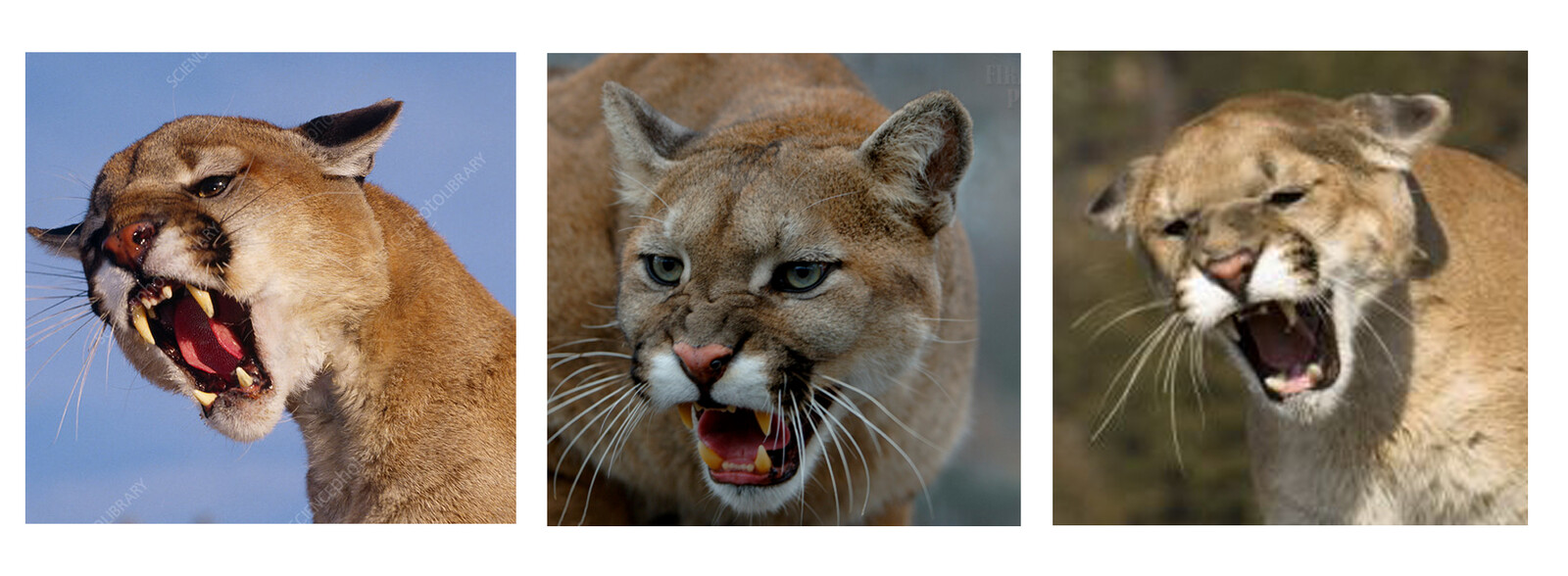 Cougar photo reference