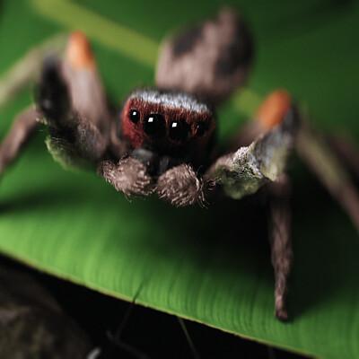 Johnson martin spider leaf1 edi