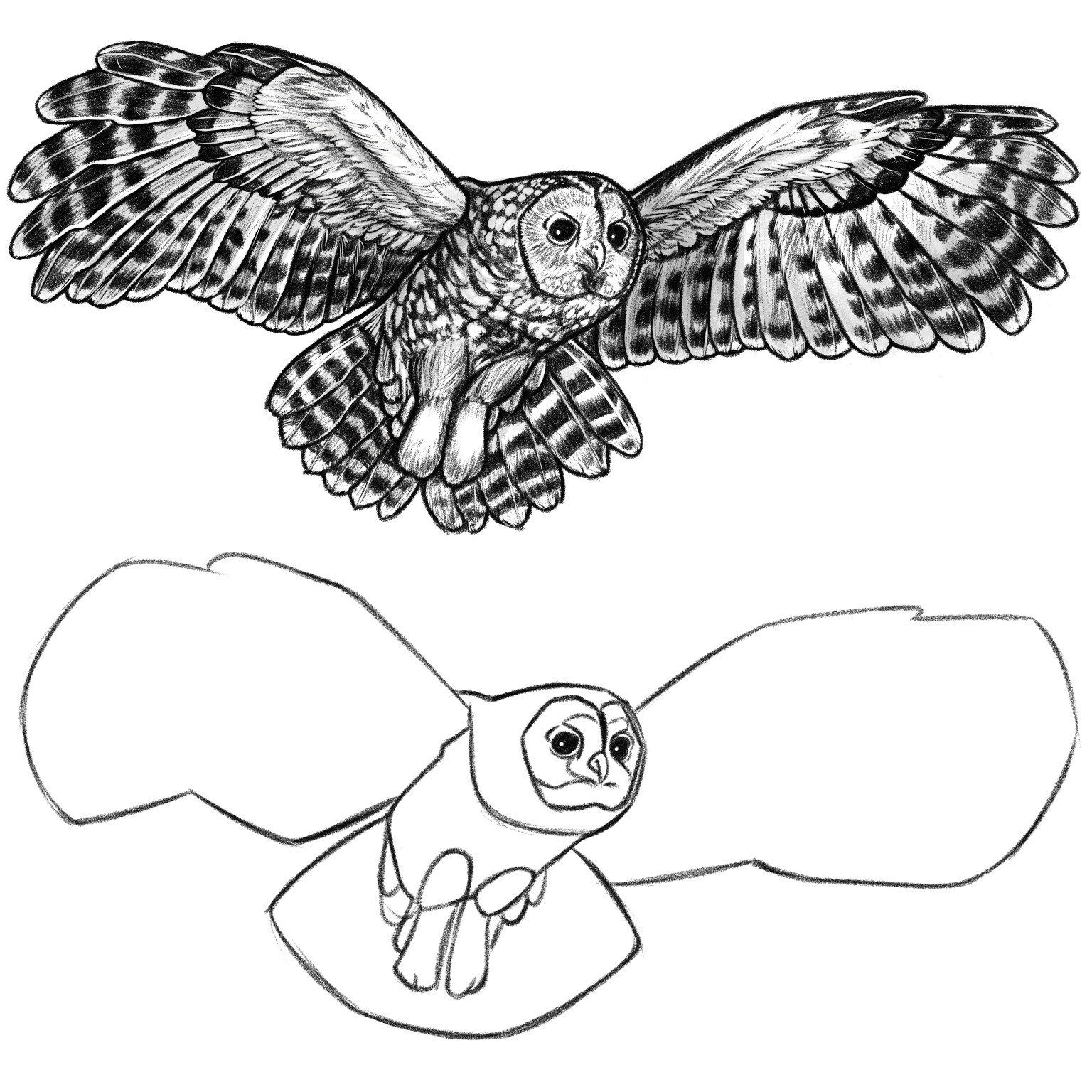 The original sketch of the owl in flight where I first broke the animal down into shapes and then filled in the detail.