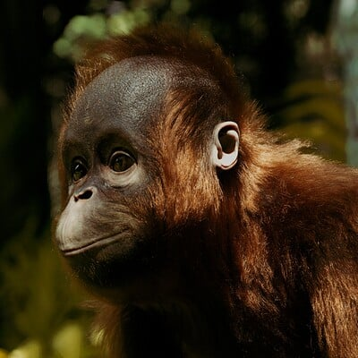 Preetham raj r orangutan low res 4k