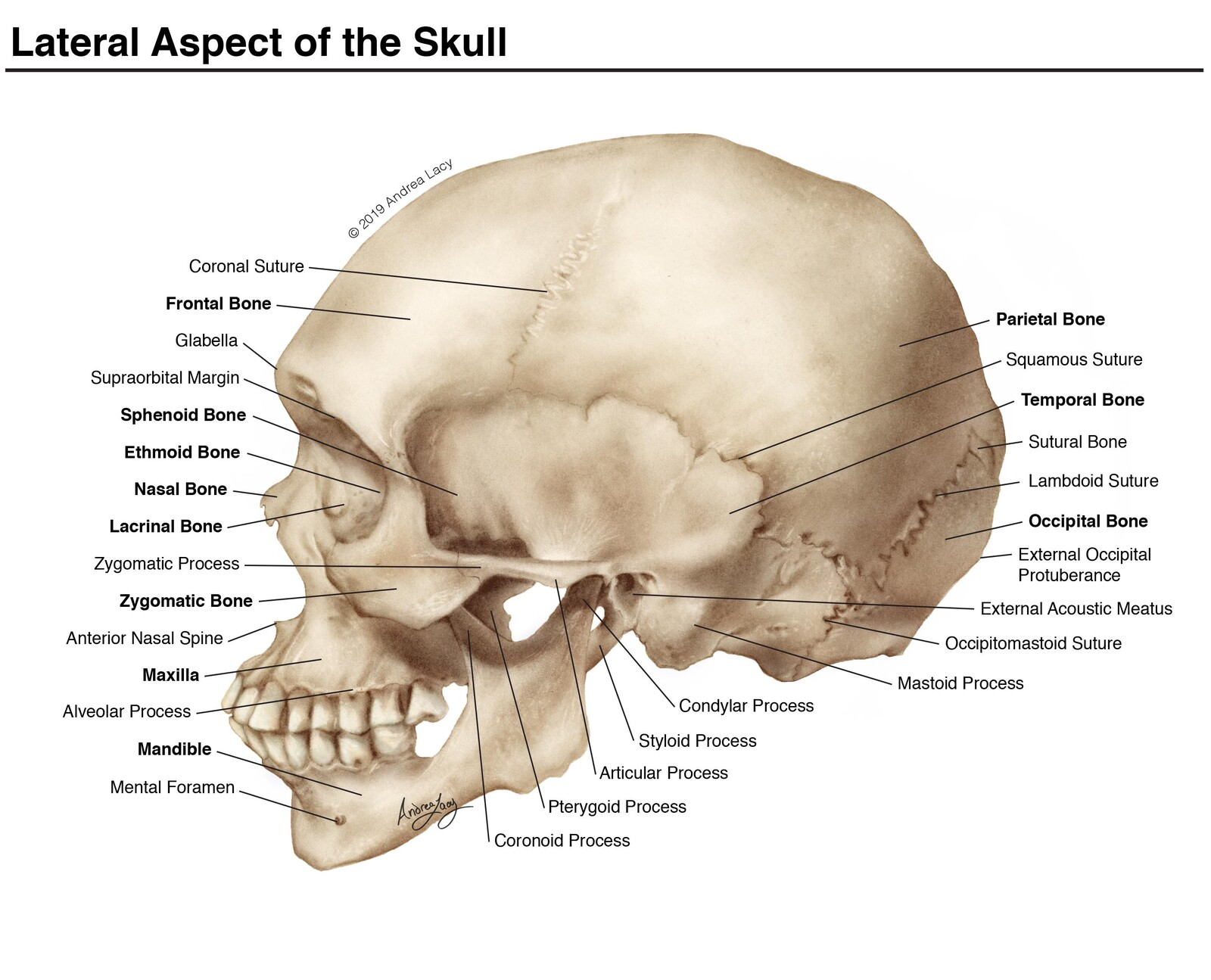 Lateral Aspect of the Skull