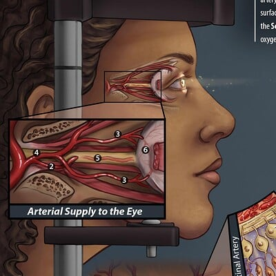 Andrea lacy arteries to the eye alacy