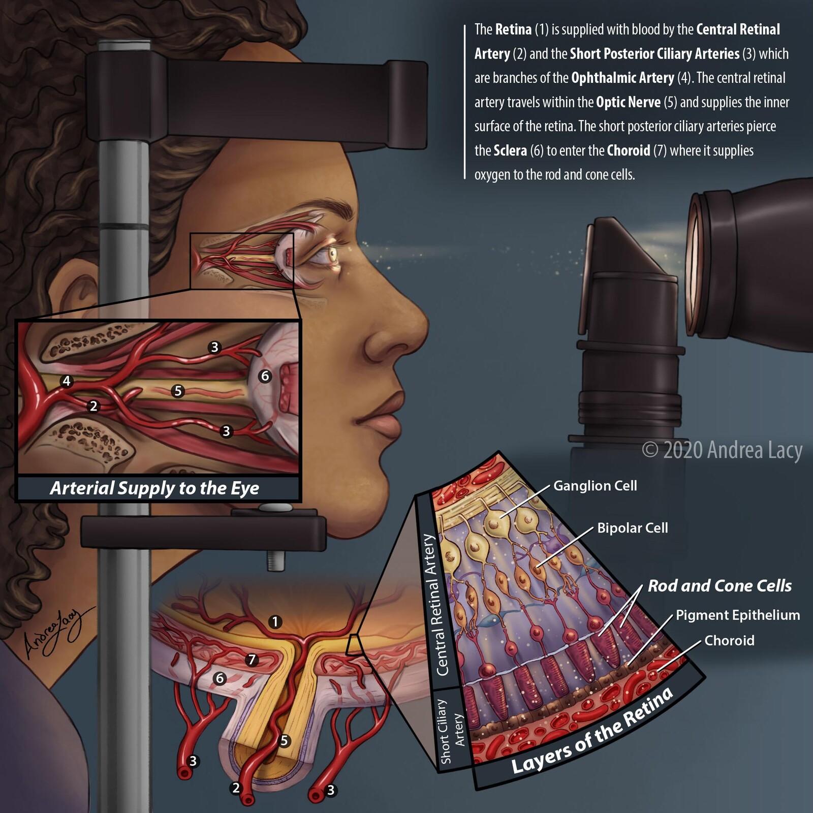 Arteries to the Retina