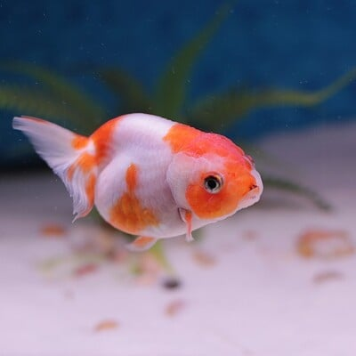 Raise up beginners guide take care of a goldfish