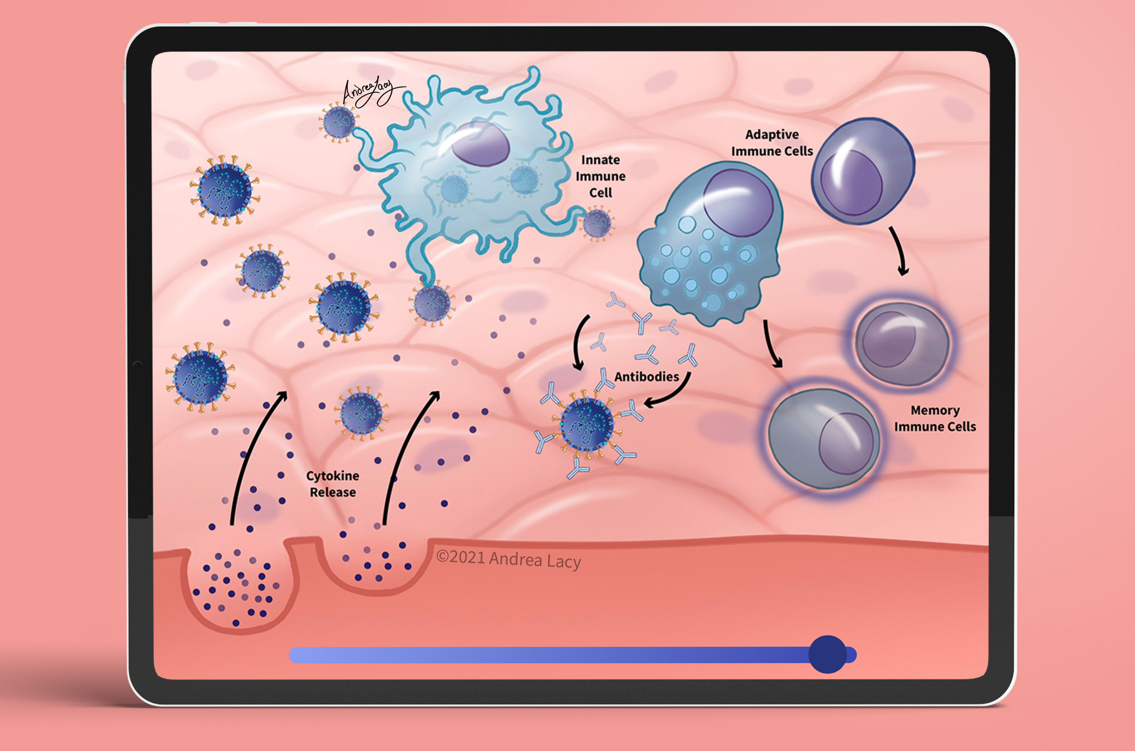 Interactive 2 illustrates how the immune system responds to SARS-CoV-2 infection.