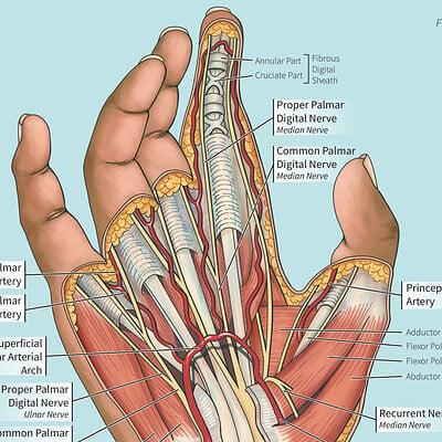 Andrea lacy hand anatomy alacy