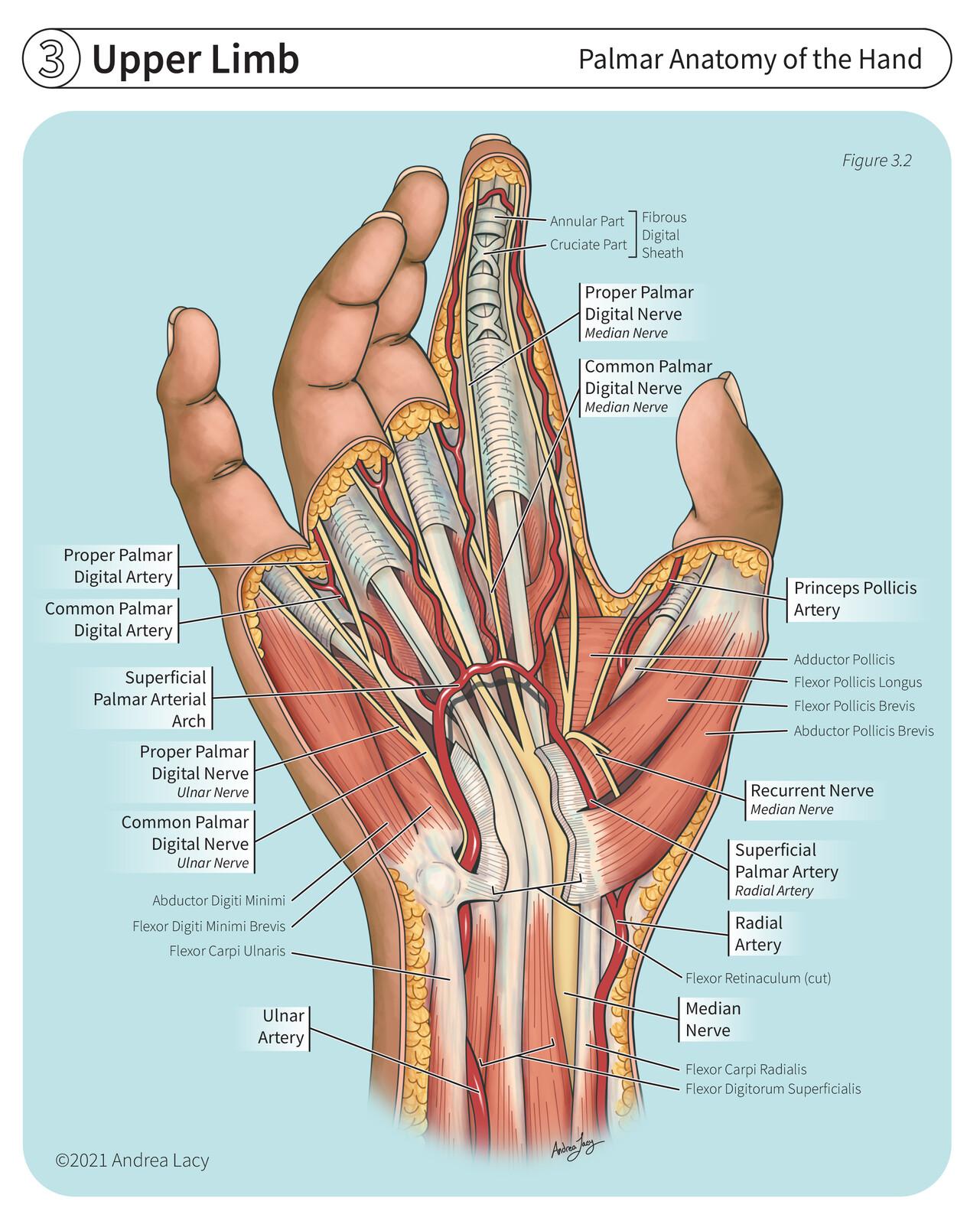 Palmar Anatomy of the Hand