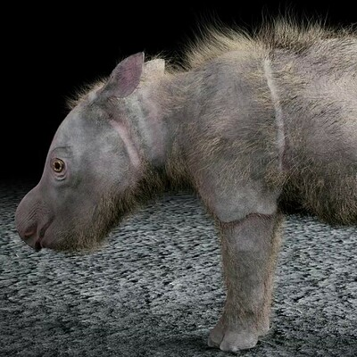 Animated Sumatran Rhino calf