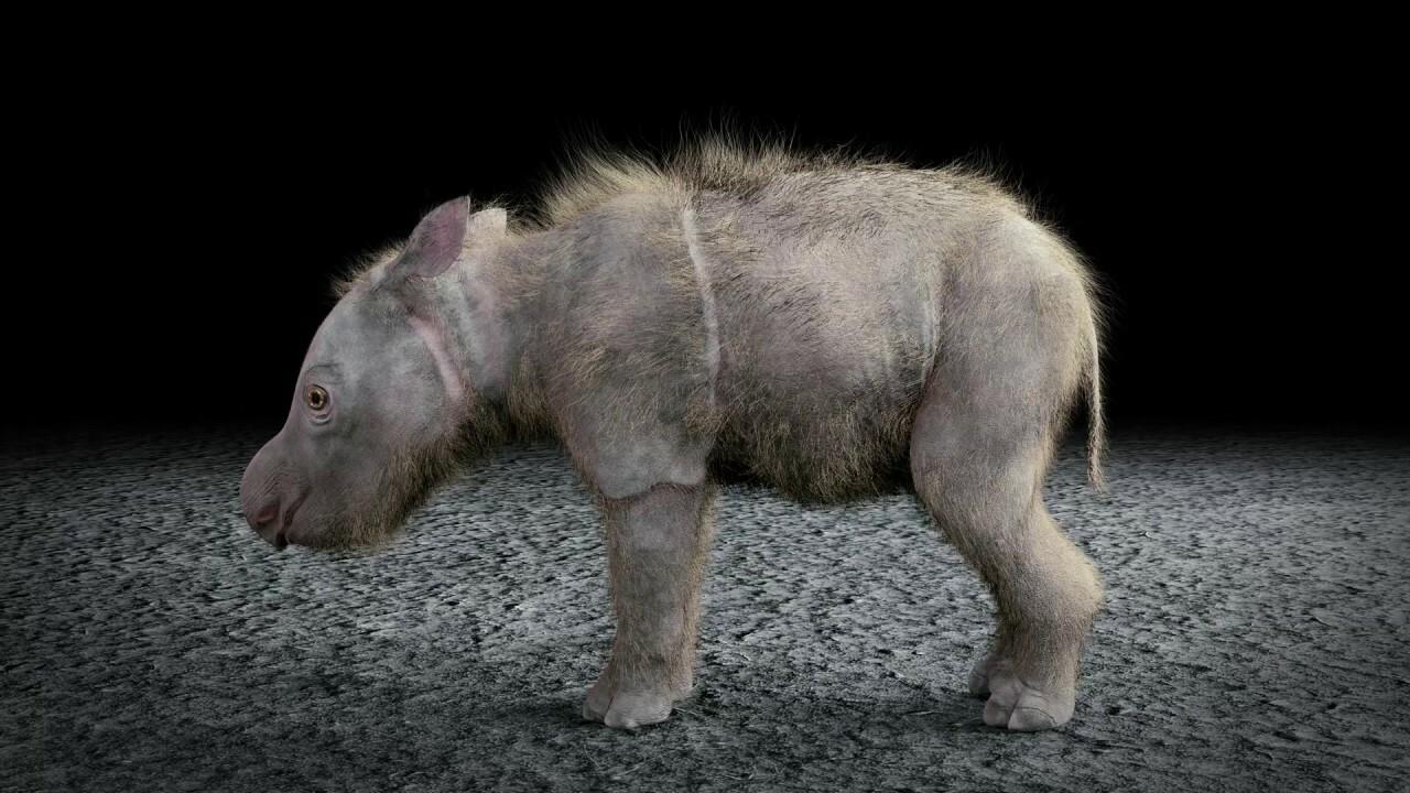 Animated Sumatran Rhino calf