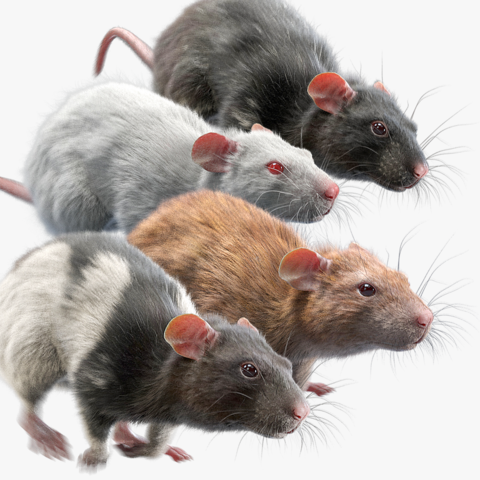 Rat Fur Animated Collection