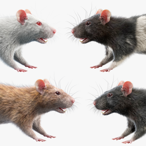 Rats Collection
