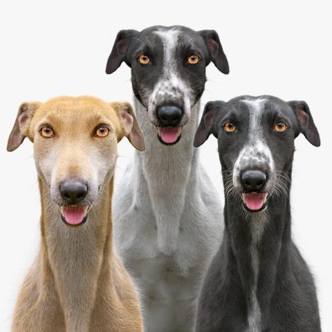 Greyhound Fur Collection