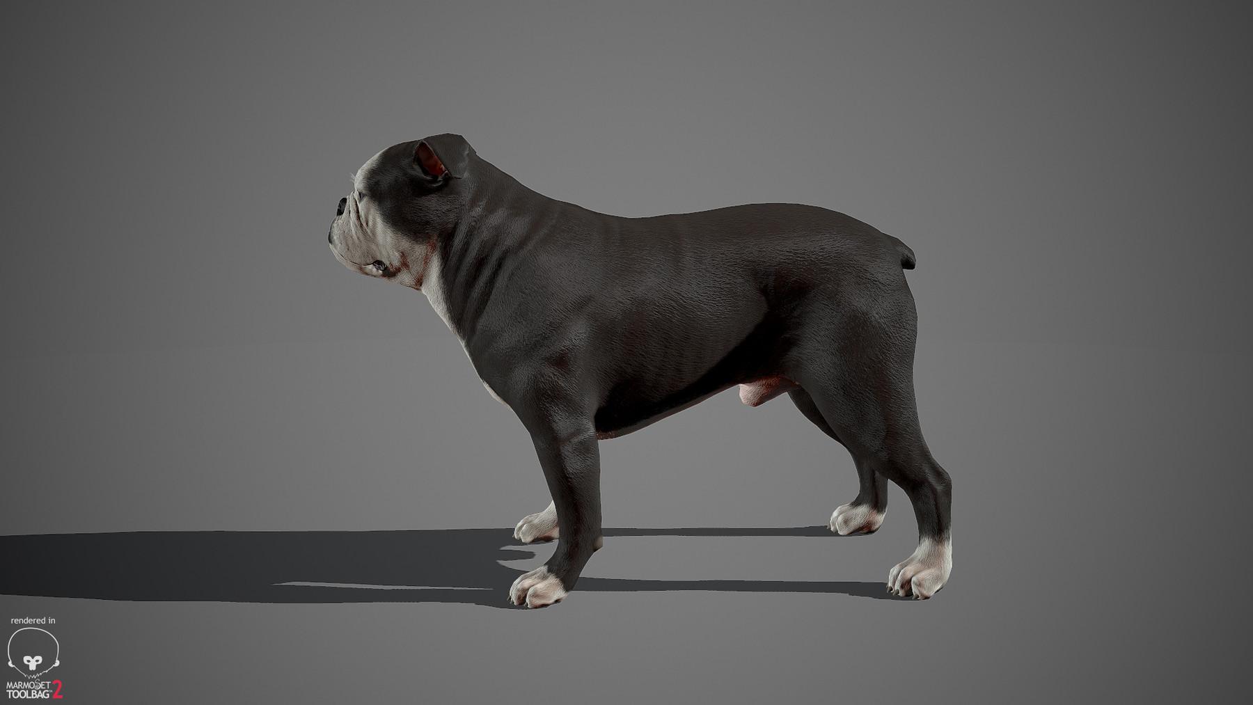 Englishbulldog by alexlashko marmoset 09