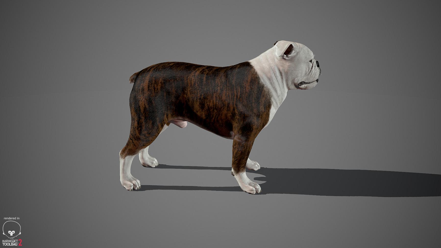 Englishbulldog by alexlashko marmoset 31