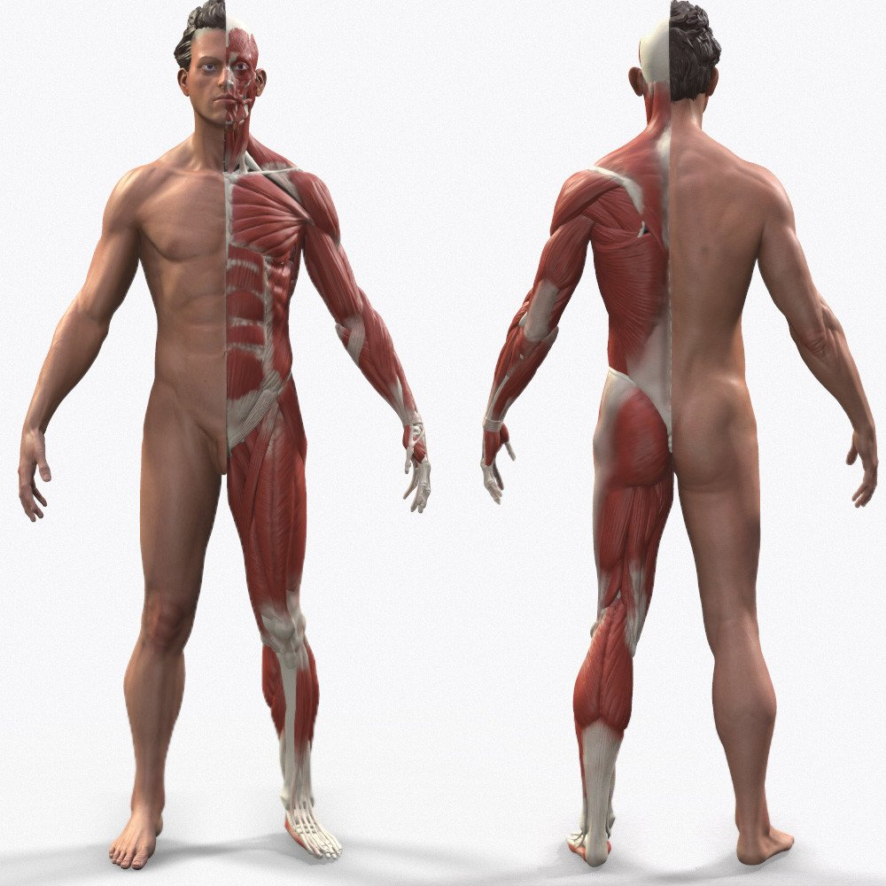 Male anatomy polycount2