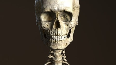 Human Anatomy Male Skeleton