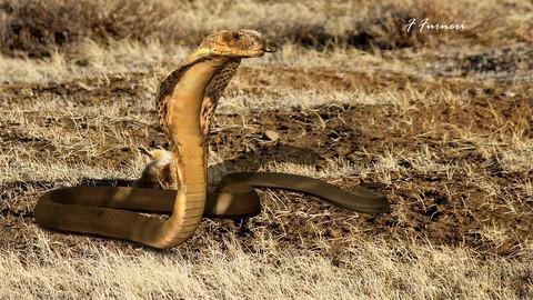 Rigged King Cobra Snake
