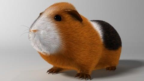 Guinea pig (Cavia porcellus) Rigged