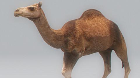 Animated Camel