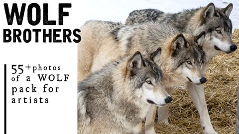 55+ Wolf Reference Photos for Artists