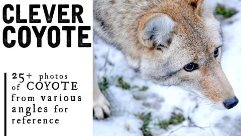 25+ Coyote Photos for Artists