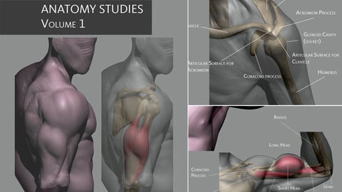 Anatomy Studies Volume 1