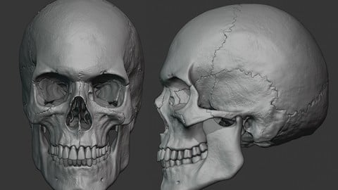 Human male skull